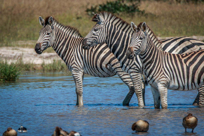 Several Zebras standing in the water. stock photography
