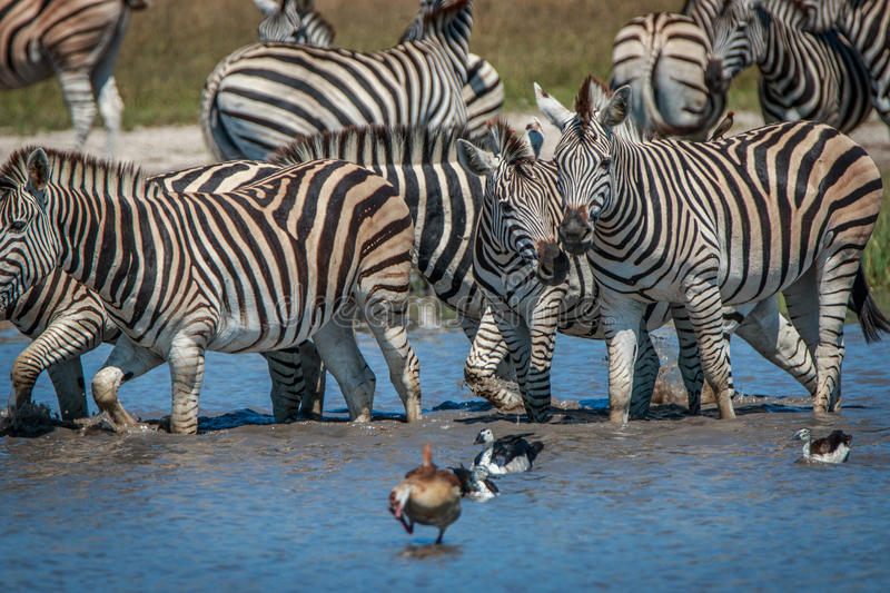 Several Zebras standing in the water stock image