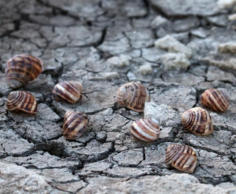 Dead grape snails on cracked earth. Severe drought in recent years in Europe and dead grape snails. Global warming leads to prolonged heat, depletion of water stock photography