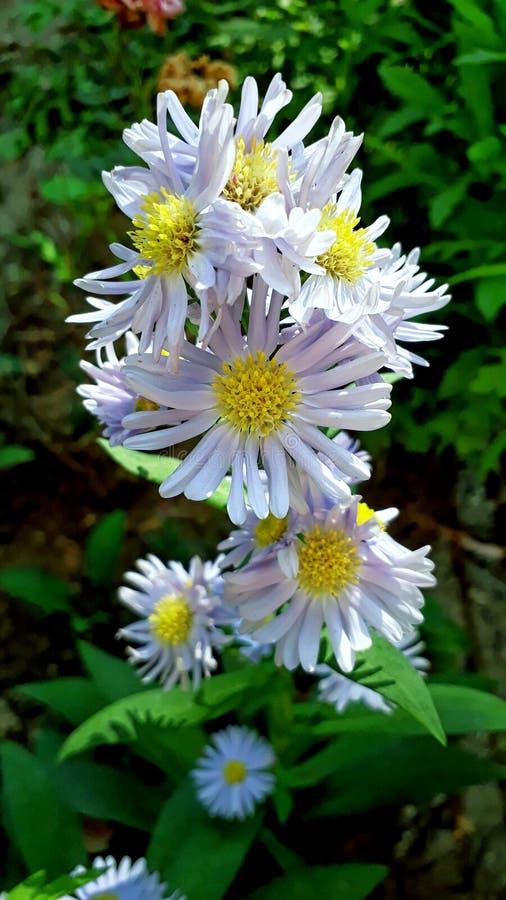 sevti kwiaty zdjęcie stock