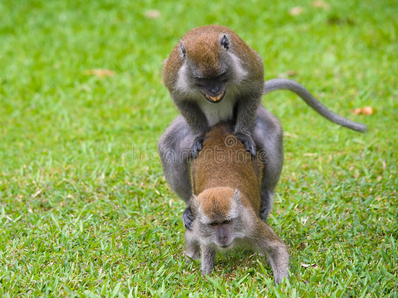 Sex. A alpha male macaque monkey copulating with a female just after chasing off a rival male royalty free stock photos