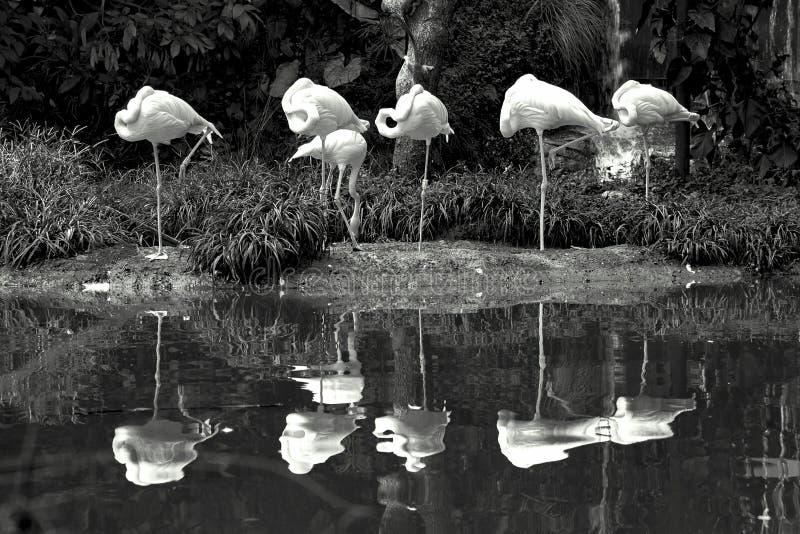 Sex amerikanska flamingo som står nära ett damm fotografering för bildbyråer