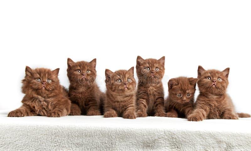 Sex bruna brittiska kattungar arkivbilder