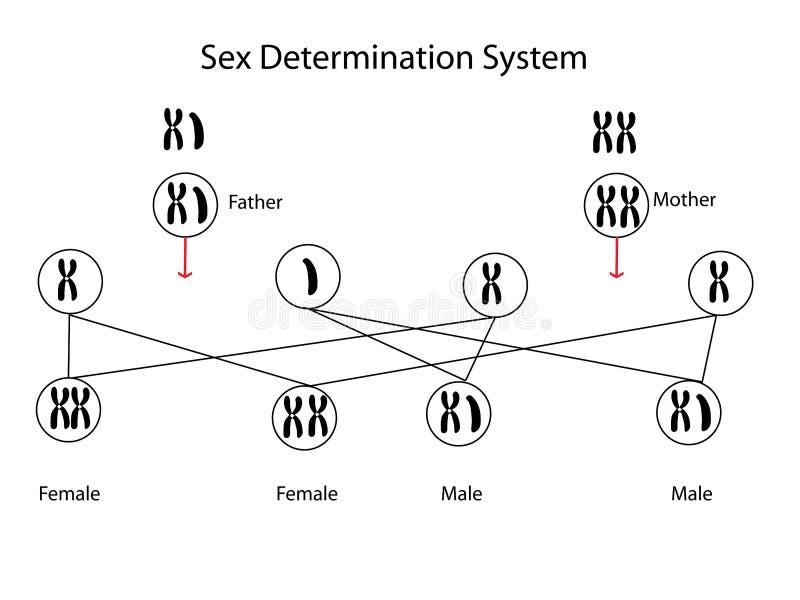 Sex determination. Vector illustrator and computer design stock illustration