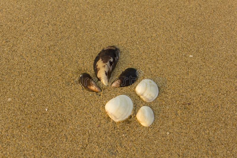 Sex stora vita och bruna skal stänger sig upp på en oskarp gul sand med små skal arkivbild