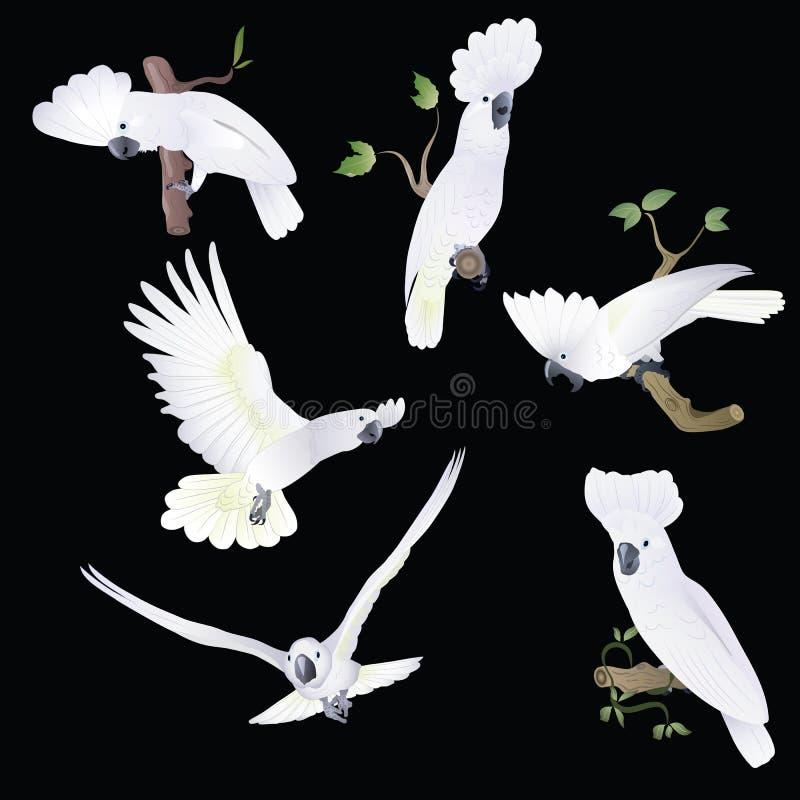 Sex vit-reste upp kakadua i olikt poserar royaltyfri illustrationer