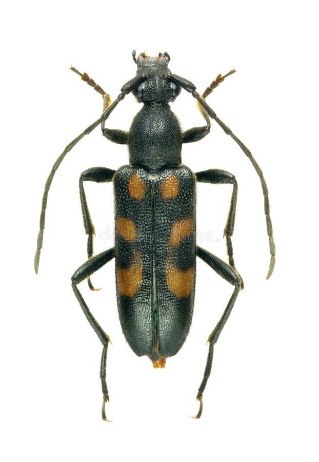 Sexguttata di Anoplodera dello scarabeo (femmina) fotografie stock