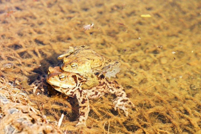Sexo del Froggy fotografía de archivo libre de regalías