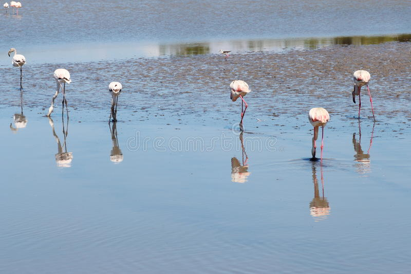 Sextet of foraging flamingos in the Camargue, France. Flamingos, water birds with long necks, sticklike legs and pink or reddish feathers living in and around stock photos
