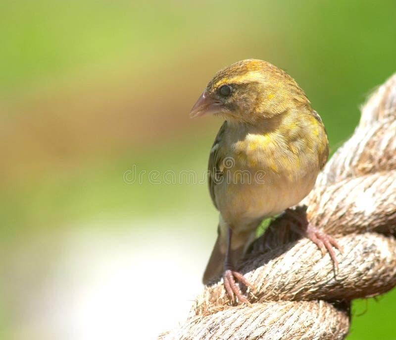 Download Seychellen fody stockbild. Bild von indisch, insel, inseln - 48517