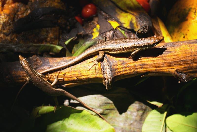 Seychellen skinks stockfoto