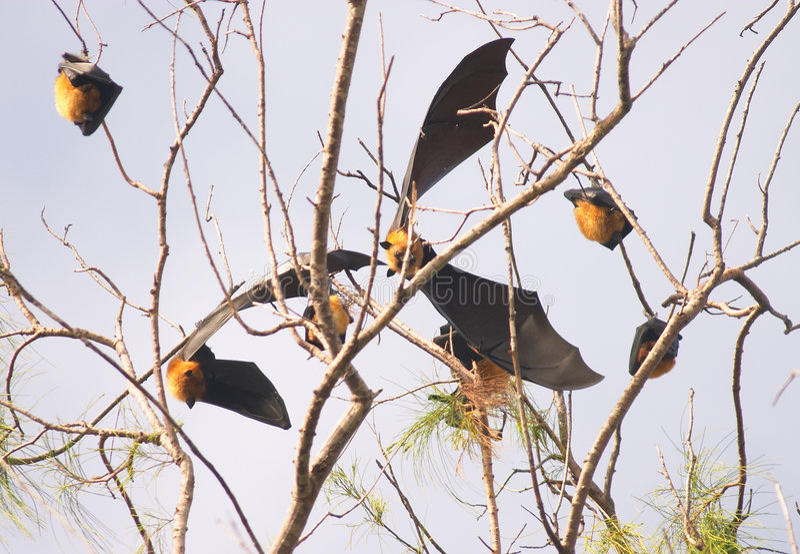Download Seychelles fruit bat stock photo. Image of island, rest - 48516