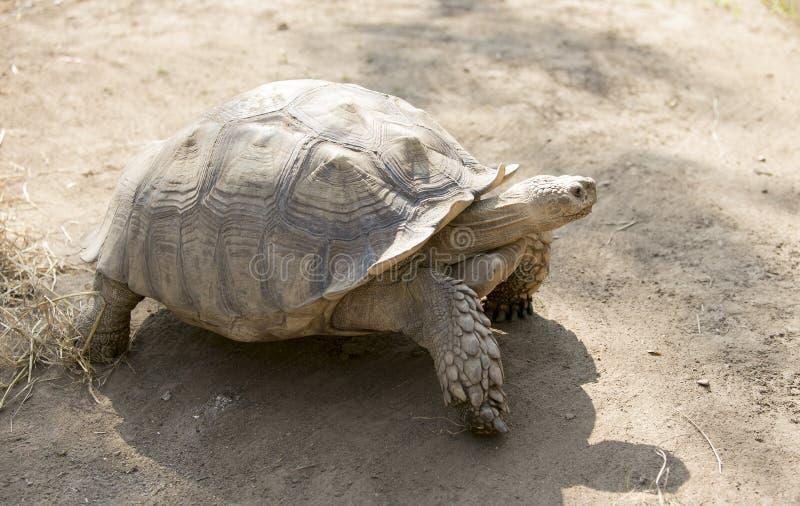 Seychelles giant tortoise stock photo