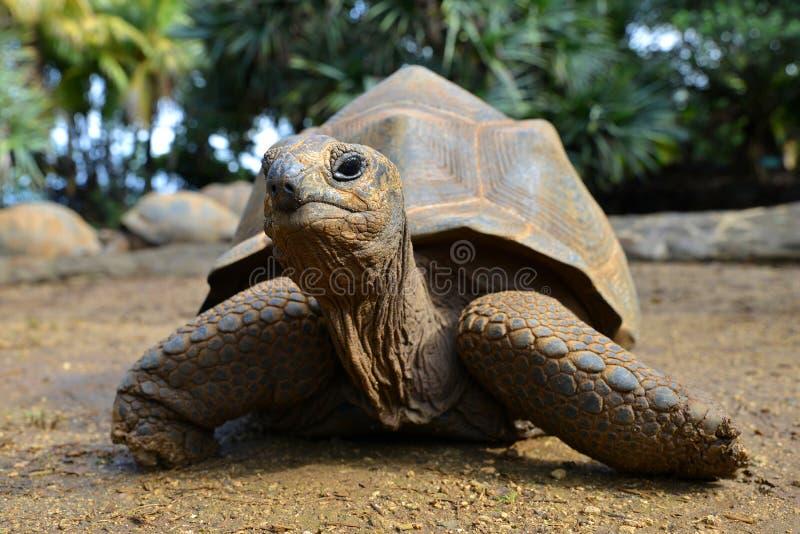 Seychelles Gigantyczni Tortoises, Aldabrachelys gigantea obraz stock