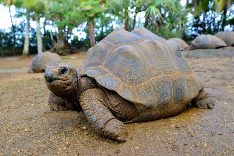 Seychelles Gigantyczni Tortoises, Aldabrachelys gigantea fotografia royalty free