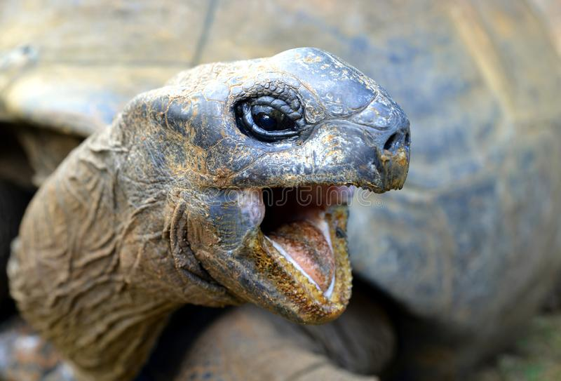 Seychelles Gigantyczni Tortoises, Aldabrachelys gigantea obraz royalty free