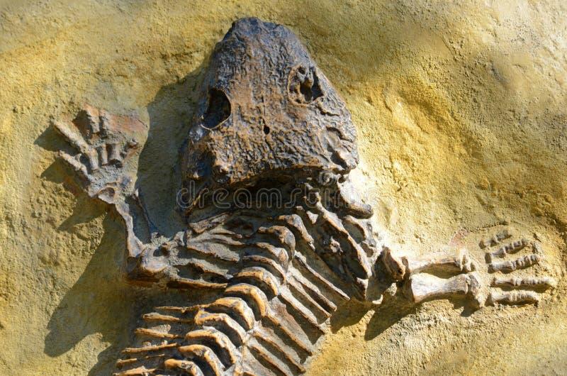 Seymouria fóssil foto de stock