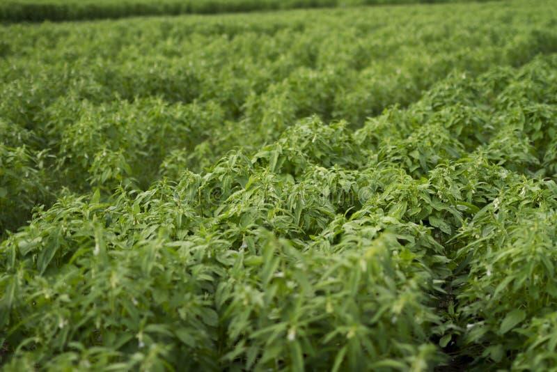Sezamowa roślina w rolnych polach zdjęcie stock
