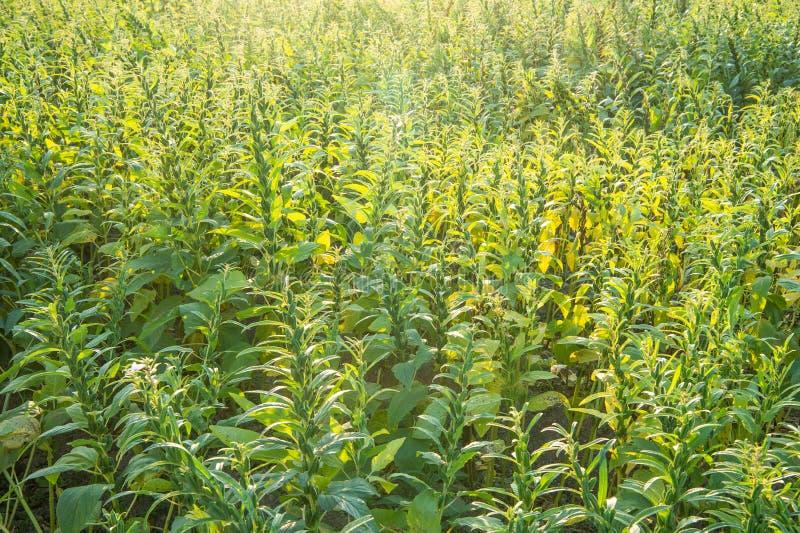 Sezamu pole z sezamem połuszczy i ziarna w Xigang, Tainan, Tajwan makro-, zakończenie w górę, bokeh obraz stock
