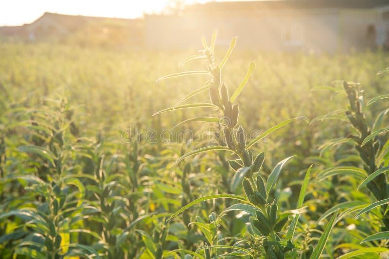 Sezamu pole z sezamem połuszczy i ziarna w Xigang, Tainan, Tajwan makro-, zakończenie w górę, bokeh zdjęcie stock