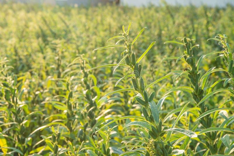 Sezamu pole z sezamem połuszczy i ziarna w Xigang, Tainan, Tajwan makro-, zakończenie w górę, bokeh obraz royalty free