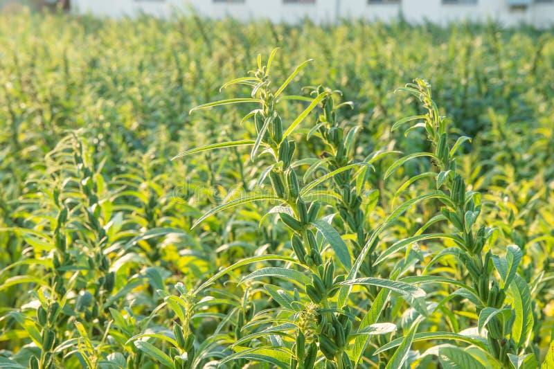 Sezamu pole z sezamem połuszczy i ziarna w Xigang, Tainan, Tajwan makro-, zakończenie w górę, bokeh obrazy stock