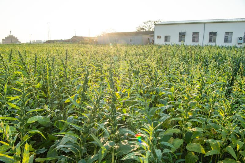 Sezamu pole z sezamem połuszczy i ziarna w Xigang, Tainan, Tajwan makro-, zakończenie w górę, bokeh zdjęcia royalty free