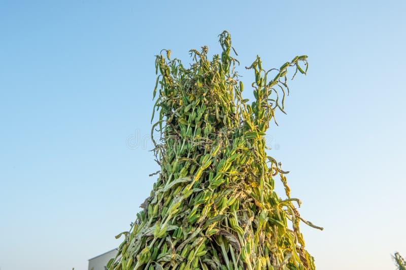 Sezamu pole z sezamem połuszczy i ziarna w Xigang, Tainan, Tajwan makro-, zakończenie w górę, bokeh obrazy royalty free
