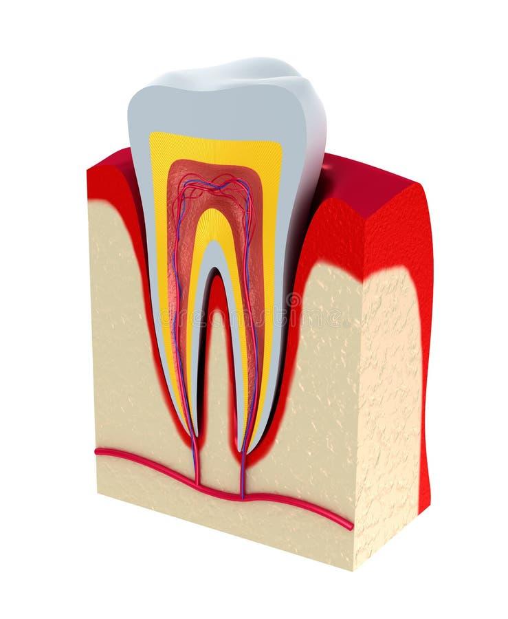 Sezione del dente. polpa con i nervi ed i vasi sanguigni. illustrazione vettoriale