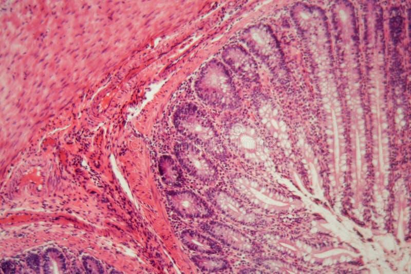 Sezione di un epitelio ciliato del cane immagini stock libere da diritti