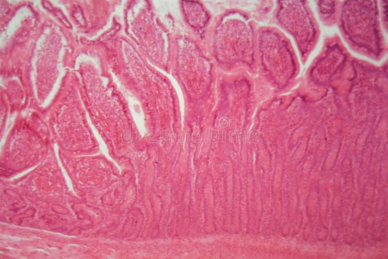 Sezione di un epitelio colonnare ciliato del cane fotografia stock