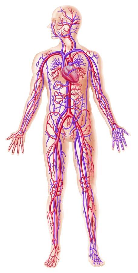 Sezione trasversale circolatory umana del sistema royalty illustrazione gratis