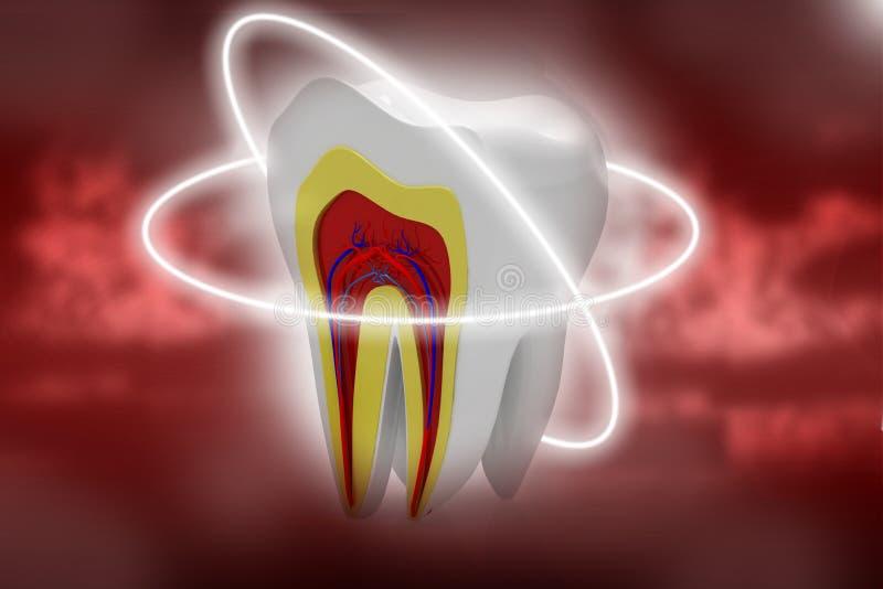 Sezione trasversale dei denti illustrazione vettoriale