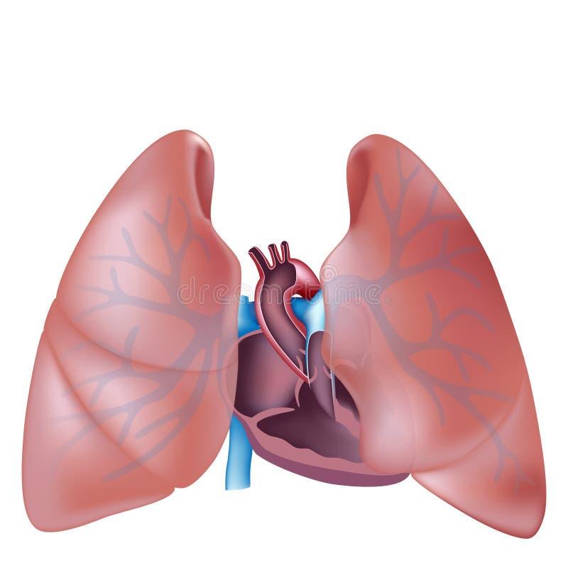 Sezione trasversale del cuore ed anatomia dei polmoni illustrazione di stock