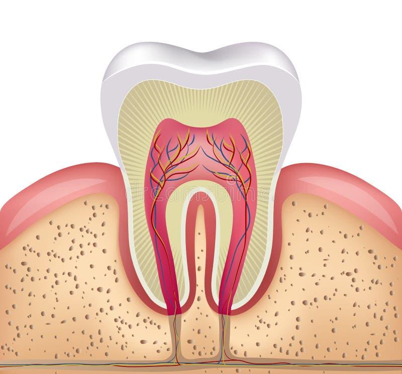 Sezione trasversale del dente illustrazione di stock