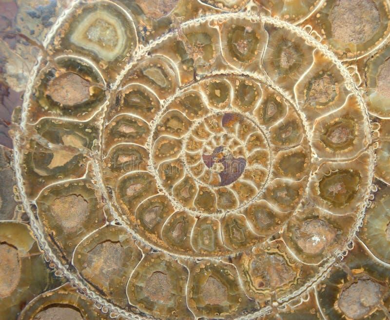 Sezione trasversale del fossile dell'ammonite fotografia stock libera da diritti
