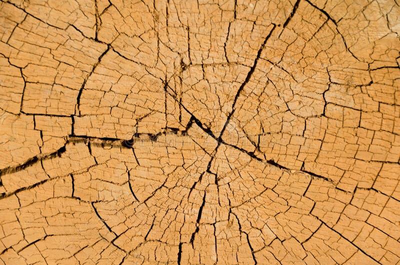 Sezione trasversale dell'albero fotografia stock