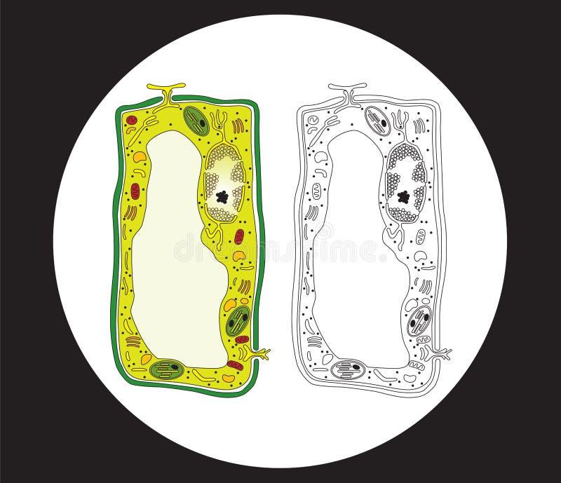Sezione trasversale delle cellule della pianta illustrazione di stock