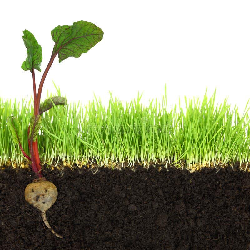 Sezione trasversale di suolo e di erba con barbabietola immagini stock