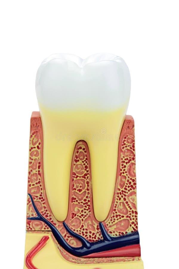 Sezione trasversale di un modello anatomico del dente fotografia stock