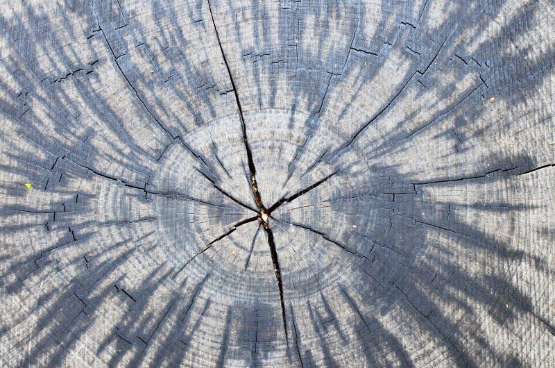 Sezione trasversale reale del tronco di più vecchia quercia secolare fotografie stock libere da diritti