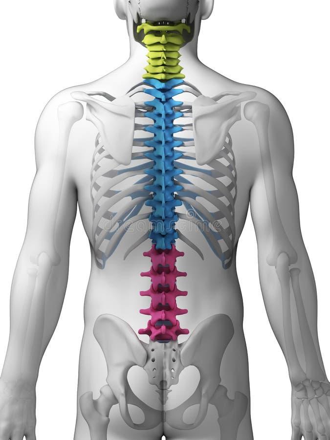 Sezioni della spina dorsale illustrazione vettoriale