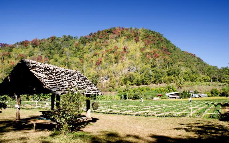 Sezon truskawek pola przy chiangmai w Thailand obraz stock