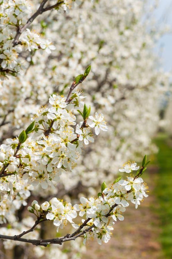 Sezonowej wiosny ?liwki kwiat?w bia?y kwitn?? Okwitni?cie ?liwkowy sad w Polska obraz royalty free