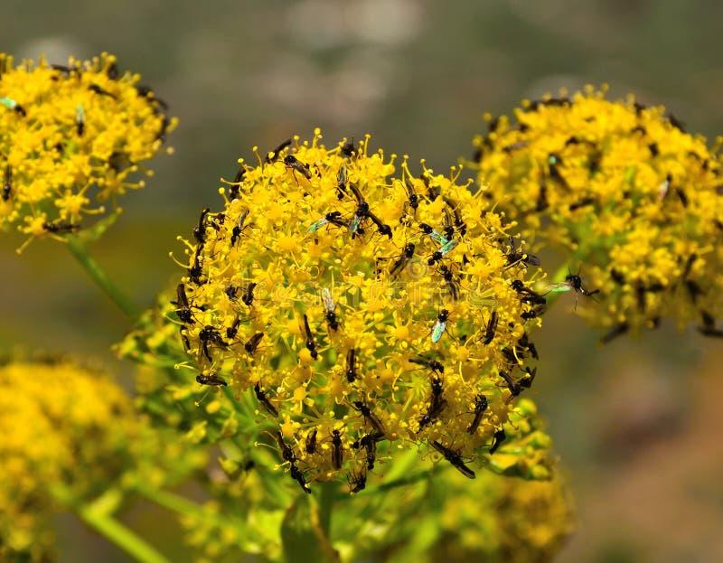 Sfera dei fiori di finocchio coperti di piccoli insetti immagini stock libere da diritti