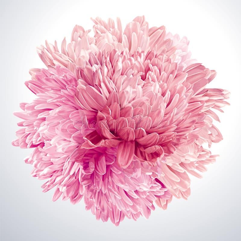 Sfera rosa dei crisantemi e degli aster illustrazione vettoriale