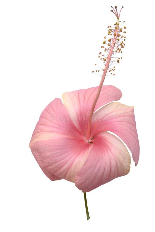 Sferische roze geïsoleerder hibicusbloem royalty-vrije stock afbeeldingen
