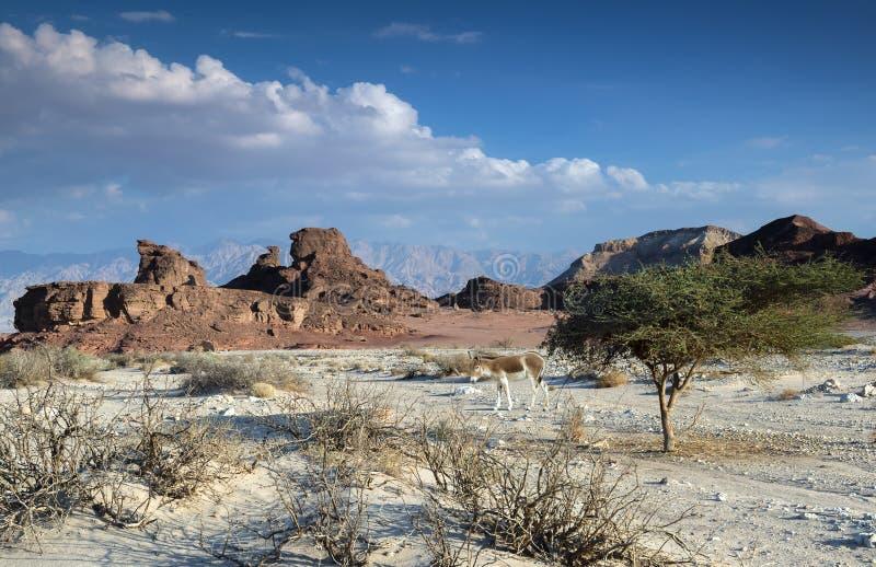 Sfinge del deserto, parco di Timna, Israele immagini stock libere da diritti