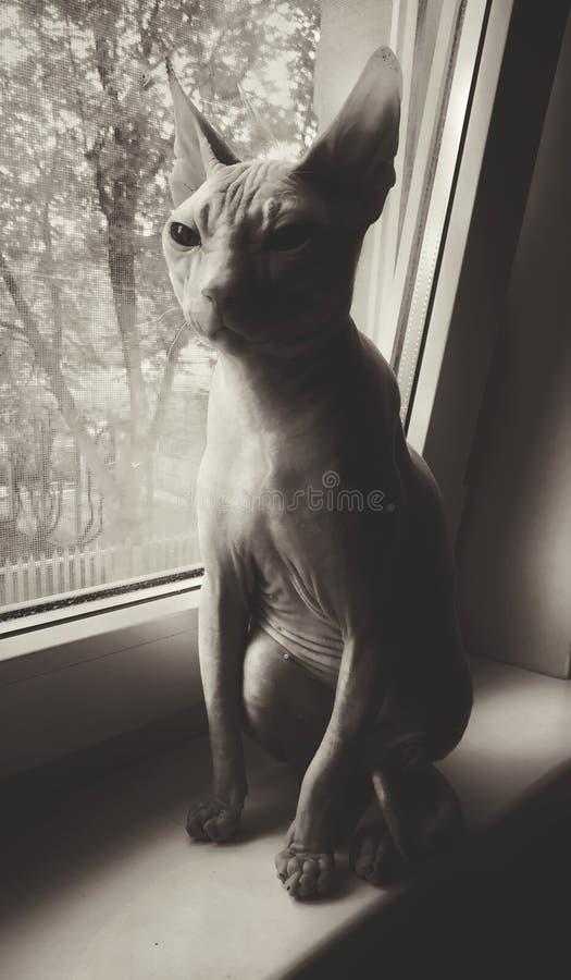 sfinge del gatto vicino alla finestra fotografia stock