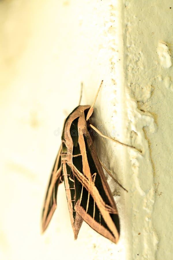 Sfinksa ćma Sphingidae z wielkimi skrzydłami zdjęcie stock